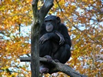 Chimpanze (Pan troglodytes)