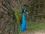 Common Peacock (Pavo cristatus)