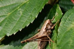 Dark Bush-cricket (Pholidoptera griseoaptera)