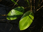 Broad-Leaved Pondweed (Potamogeton natans)