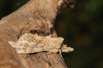 Pale Prominent (Pterostoma palpina)