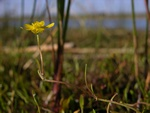 Creeping Spearwort (Ranunculus reptans)