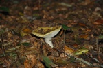 Common Yellow Russula (Russula ochroleuca)