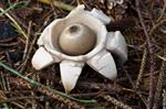 Collared Earthstar (Geastrum triplex)