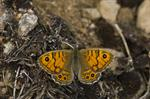 Wall Brown (Lasiommata megera)