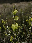 Creeping Willow (Salix repens)