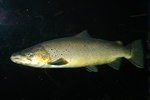 Sea trout (Salmo trutta trutta)