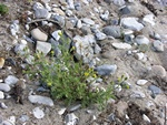 Sticky Groundsel (Senecio viscosus)