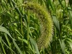 Green Bristle-Grass (Setaria italica)