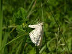 Black-veined Moth (Siona lineata)