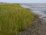 Common Cord-Grass (Spartina anglica)