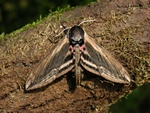 Privet Hawk-moth (Sphinx ligustri)