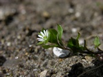 Common Chickweed (Stellaria media)