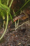 Smooth Newt, Common Newt (Triturus vulgaris)