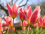 Tulipa kaufmanniana (The First)