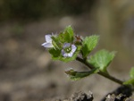 Ivy-Leaved Speedwell (Veronica hederifolia ssp. lucorum)