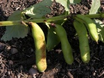 Broad Bean (Vicia faba)
