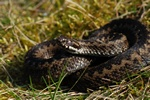 Common Viper, Adder (Vipera berus)