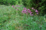 Sticky Catchfly (Viscaria vulgaris)