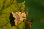 Pink-barred Sallow (Xanthia togata)
