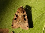 Double Square-spot (Xestia triangulum)